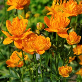 Trollius chinensis 'Golden...