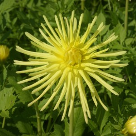 Dahlia 'Gryson's Yellow...