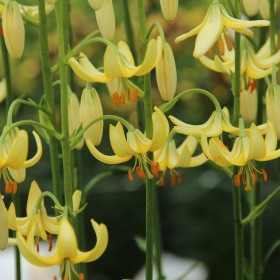 Lilium martagon 'Golden...