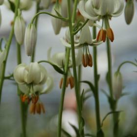 Lilium martagon -witte...