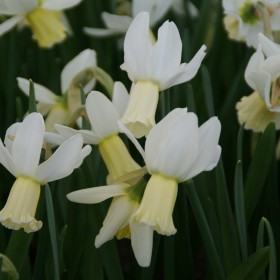 Narcissus 'Emcys'