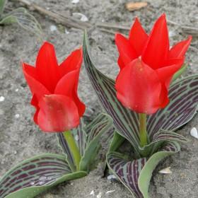 Tulipa 'Ali Baba'