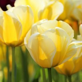 Tulipa 'Cream Cocktail'