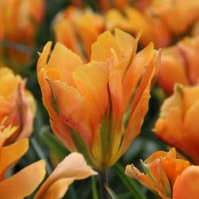 Tulipa 'Golden Artist'