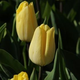 Tulipa 'Sunny Prince'