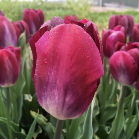 Tulipa 'Kansas Proud'®