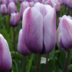 Tulipa 'Lilac Love'®