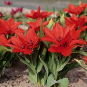 Tulipa praestans 'Zwanenburg'