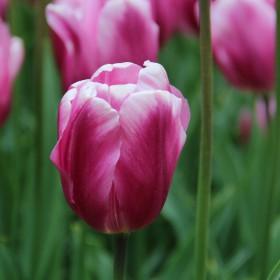 Tulipa 'Mistress'®