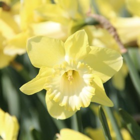Narcissus 'Honeybird'