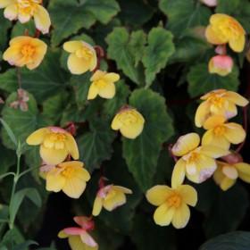 Begonia multiflora 'Frau...