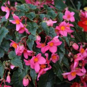 Begonia multiflora 'Le...