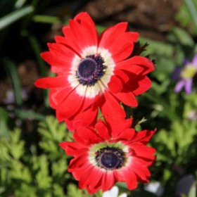 Anemone coronaria 'Governor'