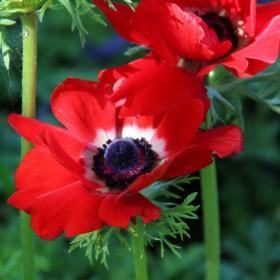 Anemone coronaria 'Hollandia'