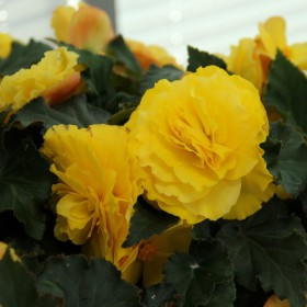 Begonia Non Stop geel