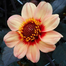 Dahlia 'Happy Single First...