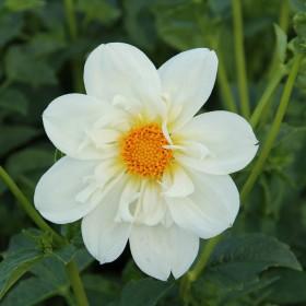Dahlia 'Twyning's White...