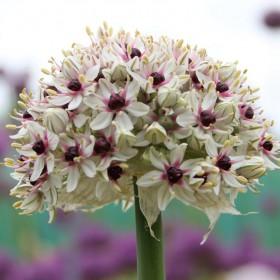 Allium basalticum 'Silver...