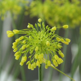 Allium 'Yellow Fantasy'