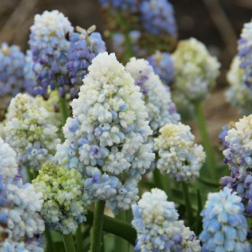 Muscari 'Double Beauty'