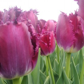 Tulipa 'Purple Crystal'