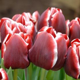 Tulipa 'Armani'