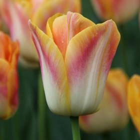 Tulipa 'Salmon Dynasty'