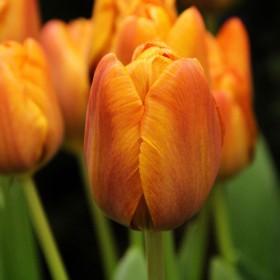 Tulipa 'Cairo' ®