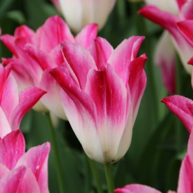 Tulipa 'Whispering Dream' ®
