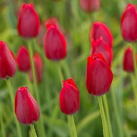 Tulipa aximensis
