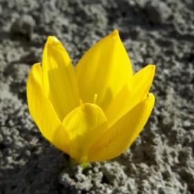 Sternbergia clusiana