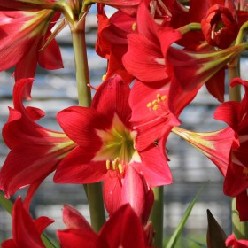 Hippeastrum 'Striped Garden'