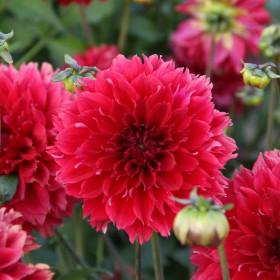 Dahlia 'Red Fubuki'
