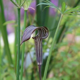 Arisaema ciliatum var....