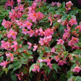 Begonia multiflora 'La...