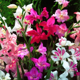 Gladiolus kleinbloemig mix
