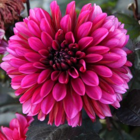 Dahlia 'Jennifer Mary Ellen'