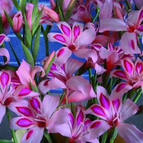 Gladiolus nanus 'Impressive'