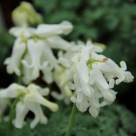 Dicentra 'Ivory Hearts' ®