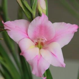 Gladiolus tubergenii...