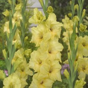 Gladiolus 'Bananarama'
