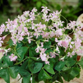Oxalis triangularis 'Fanny'