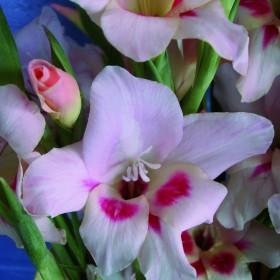Gladiolus nanus 'Elvira'