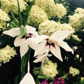 Gladiolus callianthus...