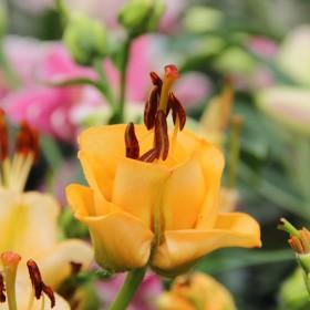 Lilium 'Apricot Fudge'