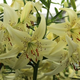 Lilium 'Sweet Surrender'