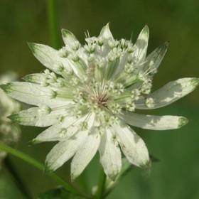 Astrantia major 'White Giant'