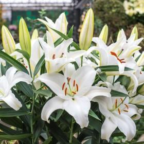 Lilium 'White Cup'