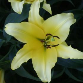Lilium 'Yelloween'