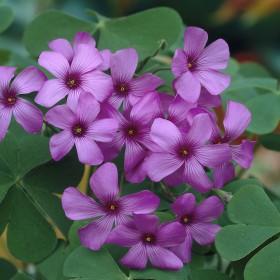 Oxalis rubra (floribunda)